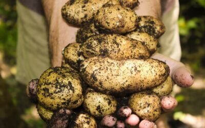 Sätt potatis så sätts kunskap
